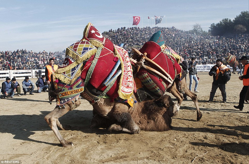 Annual Camel Wrestling Championship